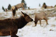 Cow Elk Stock Photos