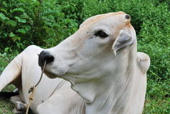 Cow emotion Stock Photography