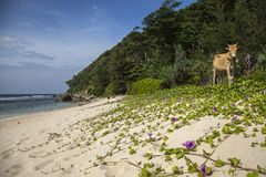 A cow on an Empty beach in Aceh, Indonesia Stock Photography