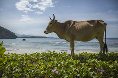 A cow on an Empty beach in Aceh, Indonesia Stock Photo