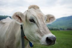 Cows profile stock photography