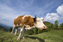 Cow enjoying the late summer sun. Cattle having lunch in the mountains, enjoying the sun Royalty Free Stock Image