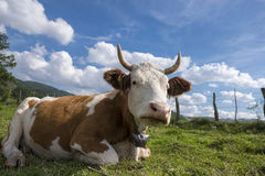 Cow enjoying the late summer sun. Cattle resting in the mountains, enjoying the sun Royalty Free Stock Image