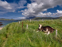 Cow enjoying the sun. In Dingle, Republic of Ireland stock photo
