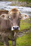 Cow in the European Alps Stock Images