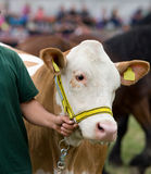 Cow at exhibition Stock Image