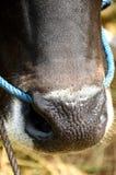 Cow eye Royalty Free Stock Photo