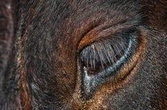 Cow eye, long eyelashes. royalty free stock image