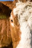 Cow Face. Close up face of a cow showing hair details, Great for a texture Royalty Free Stock Photography