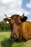 Cow face Royalty Free Stock Photo