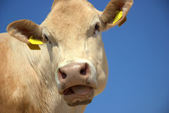 Cow face Stock Photography