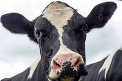 Cow, face close up Stock Photos