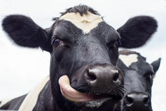 Cow, face close up Royalty Free Stock Image