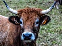 Cow face Stock Photos
