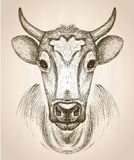 Cow face portrait, front view illustration. vector illustration