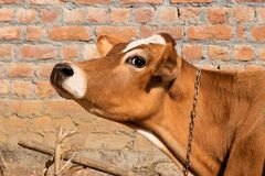Cow face side view royalty free stock photos
