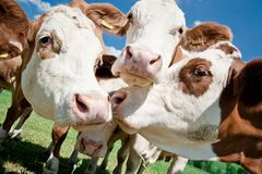 Cow Faces. Close up of some simmental cow faces royalty free stock images