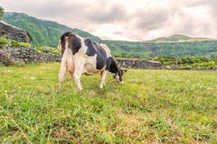 Cow in Fajã Grande on the island of Flores in the Azores, Portugal Royalty Free Stock Image