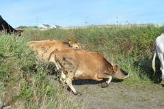 Cow falling royalty free stock photos