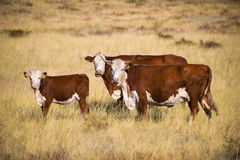 Cow family. On the pasture Royalty Free Stock Image