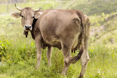 Cow. On the famous Col d`Aubisque Royalty Free Stock Images