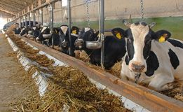 Cow farm Stock Photography