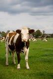 Cow farm Royalty Free Stock Photos