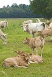 Cow on a farm. Cattle cow yellow eartags on a dutch  farm during springtime Stock Image