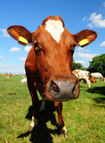 Cow farm. Dutch cow in a meadow field Stock Photography