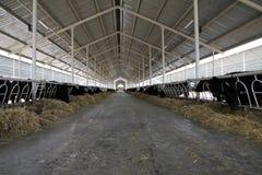 Cow Farm Stock Images