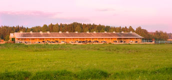 Cow farm. In sunset light Royalty Free Stock Photos