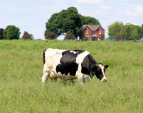 Cow On The Farm Royalty Free Stock Images