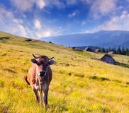 Cow on a farm Royalty Free Stock Image