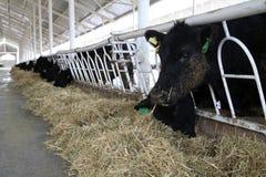 Cow Farm. Agriculture bovine milk in Konya,Turkey Royalty Free Stock Photography