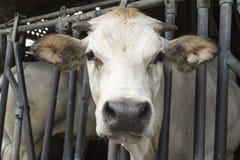 Cow in a farm Royalty Free Stock Photos