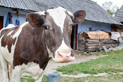 Cow on the farm. Stock Photo