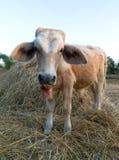 Cow on a farm Royalty Free Stock Photos