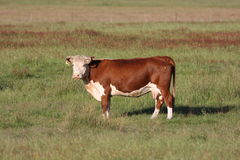 Cow on farm Royalty Free Stock Image