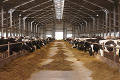 Cow farm agriculture. Animal milk eat group stock photography