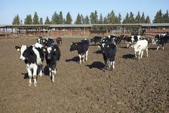 Cow farm agriculture bovine milk Royalty Free Stock Photo