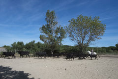 Cow farm in Aigues Mortes, France Royalty Free Stock Photos