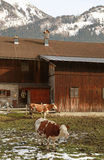 Cow and  farm in Alps, Austria Stock Photography