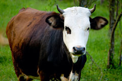 Cow farm animal on green grass Royalty Free Stock Photography