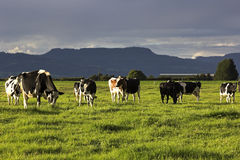 Cow farm in Australia stock photos