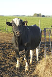 A cow in a farm Stock Images