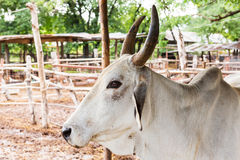 Cow in farm Stock Images