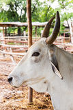 Cow in farm Royalty Free Stock Photo