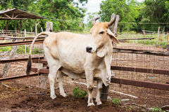 Cow in farm Royalty Free Stock Image