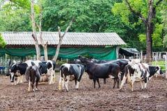 Cow in farm Stock Photos