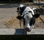The cow in a farm, chengdu, china Royalty Free Stock Images
